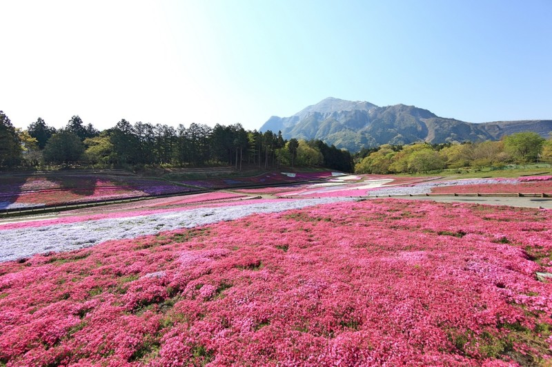 Spring Azalea Saitama Prefecture Flower Park
