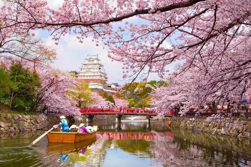 Himeji Castle in beautiful Cherry Blossom season.