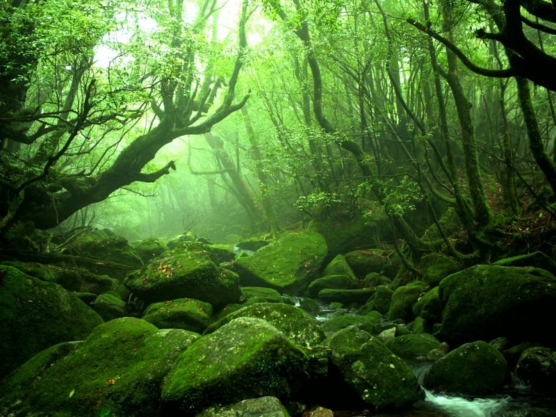 Yakushima forest with centuries old cedars