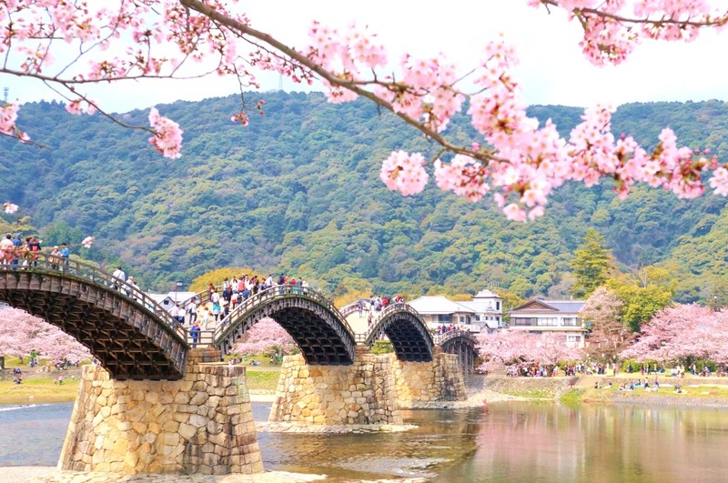 Cherry blossoms over famous arched bridge in Yamaguchi
