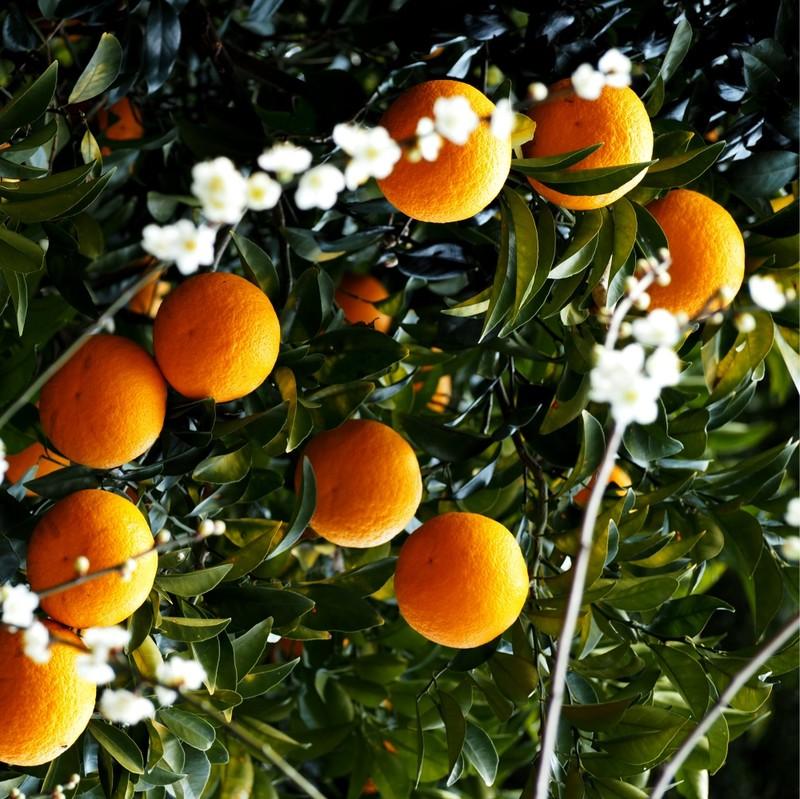 Japanese Mikan oranges