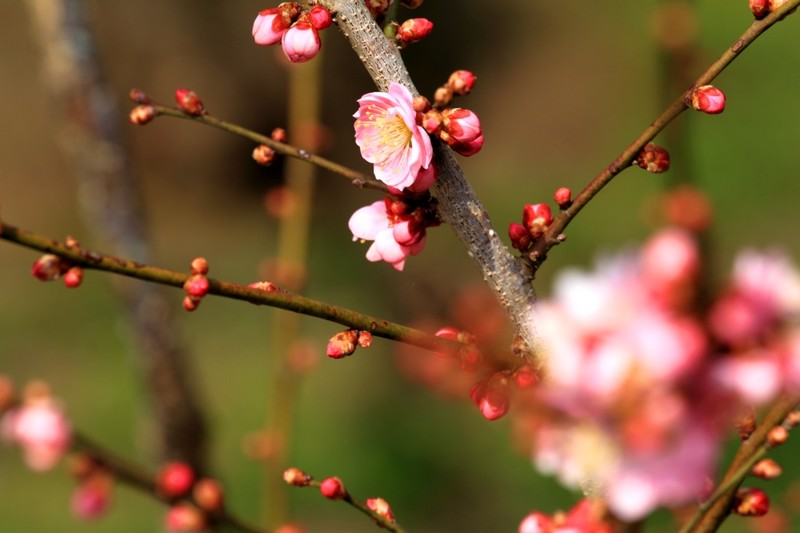 Plum Blossom Festival Ibaraki