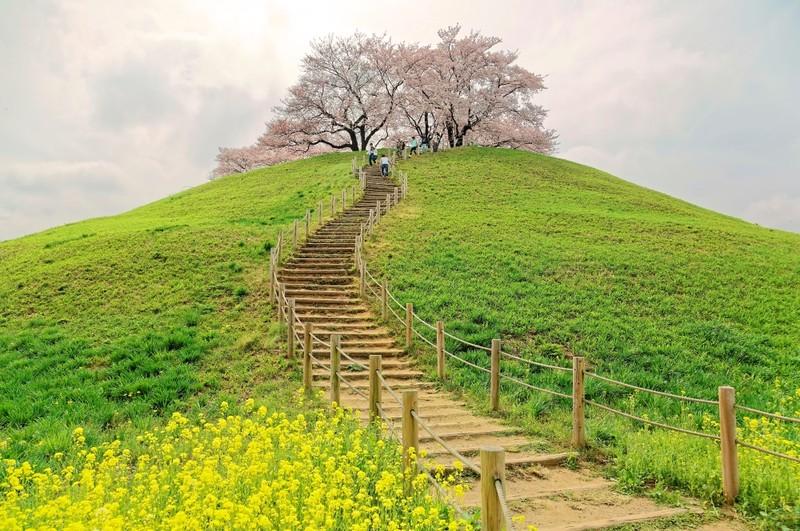 Cherry Tree and hiking path in Saitama