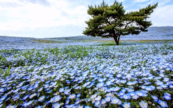 Hitachi Seaside Park Ibaraki Prefecture blue flowers